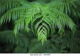 hawaiian tree fern stock photos hawaiian tree fern stock images