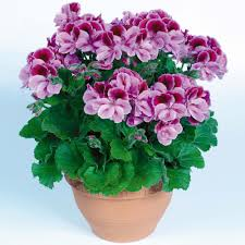The Geranium On The Windowsill Just Died Regal Geraniums So Pretty On Sale At Kroger For 7 99 Love It