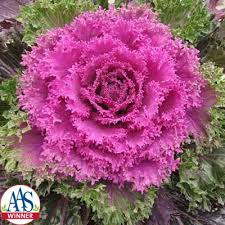 ornamental kale f1 harris seeds