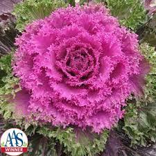 ornamental kale f1 harris seeds