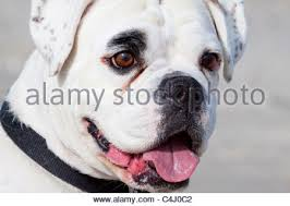 boxer dog white close up of a young boxer dog on a leash in the street stock photo