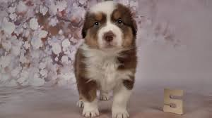 5 month old mini australian shepherd australian shepherd puppies 5 weeks old skayes youtube