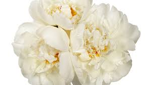peony flower 12 surprising facts all peony enthusiasts should southern