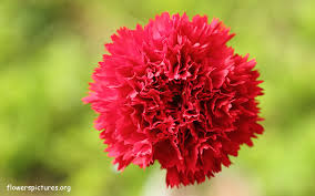 carnation flowers carnation flower pictures carnation pictures
