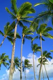 palm trees picture of oahu hawaii tripadvisor