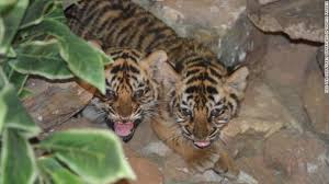 tiger nurses orphaned cubs back to health cnn