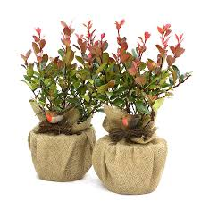 christmas plant gift photinia little red robin pair by giftaplant