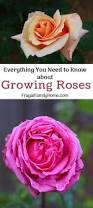 best 25 caring for roses ideas on pinterest rose plant care
