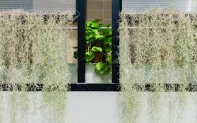 plant for home decoration tillandsia usneoides or spanish moss air plant for home and garden