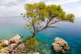 40 pine trees from around the world