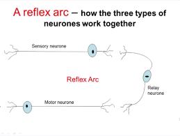 Motor Reflex Arc Nervous System Part 2 Reflex Arc A Level Biology Youtube