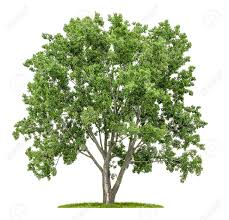 Tree Isolated Lime Tree On A White Background Stock Photo Picture And