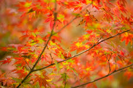 Ornamental Maple Tree Autumnal Foliage Of Ornamental Maple Tree Stock Photo By Alessandrozocc
