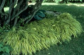 Flower Shrubs For Shaded Areas - shade tolerant ornamental grasses and grass like plants beyond