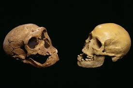 neanderthal skulls and brains may developed just like ours