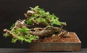 pot bonsai design thuja occidentalis lakeshore bonsai bonsai in toronto canada