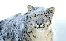 Cool Animal Wallpapers by Leopard Head Hd Animal Wallpapers Pet Love Widescreen Desktop