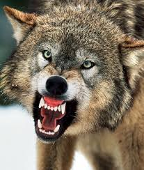 Is introducing wolves back into Britain howling mad? | Mail Online