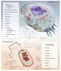eukaryotic cell diagram labeled download wiring diagram