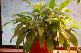 peace lily how to grow a peace lily willowbatel u0027s blog