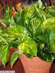 Indoor House Plants Low Light 141 Best House Plants For Low Light Images On Pinterest Indoor