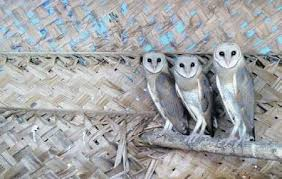 barn owl isn u0027t bad omen it eats 1 000 rodents a year the new
