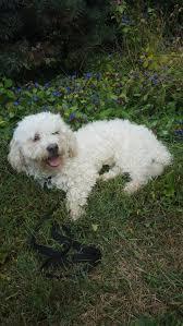 bichon frise x jack russell glastonbury ct bichon frise meet rocky pending a dog for