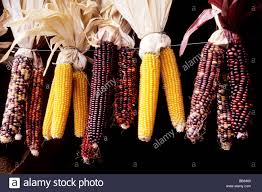 line of decorative indian corn hanging on a wire stock photo