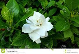 gardenia augusta flower stock photo image 66704831
