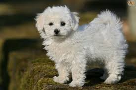 bichon frise breed standard bichon frise dog breed information buying advice photos and