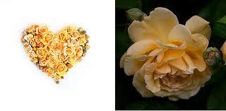 Golden Roses Rose Hearts Rose Notes