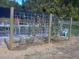 8 Foot Trellis How To Inside And Out Blackberry Trellis