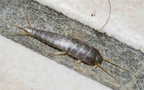 What Are These Tiny Bugs In My Bathroom Silverfish Life Cycle Effects And Pest Control Dengarden
