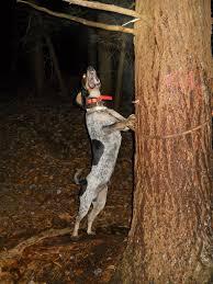bluetick coonhound breeders ohio ukc forums gr nt ch leon u0027s darkside