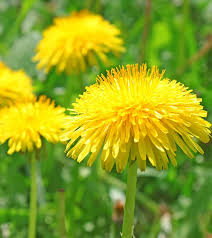 Dandelion Facts 28 Amazing Dandelion Benefits For Skin Hair And Health