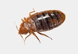Bed Bug Pest Control Bed Bugs And Termite Control In Des Moines Iowa