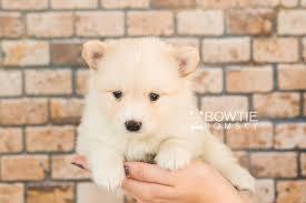 1st puppy u2013 u2013 mila bowtie pomsky world