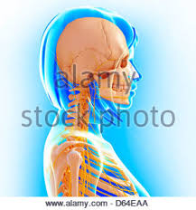 Human Anatomy Upper Body The Nervous System Female Of The Upper Body Viewed From The