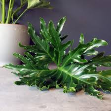 how to caring for your hope philodendron houseplant plants and