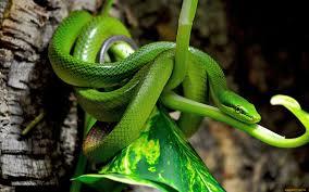 a green snake wallpapers viper green snake desktop background hd 1920x1200 deskbg com