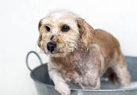Dogs In The Bathtub Moving Dog In Water With Water Spreading Around Stock Photo