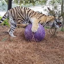 lsu u0027s mike the tiger home facebook