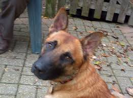 belgian shepherd x kelpie rex u2013 2 year old male belgian shepherd dog dog for adoption