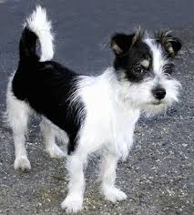 haircut ideas for long hair jack russell dogs jack tzu information and pictures