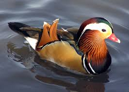 breed ornamental ducks domestic cranbrook kent pets4homes