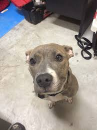 jack russell american pitbull terrier mix we rescued this sweetheart last week she u0027s half pit and half