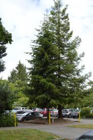 douglas fir tree trees for seattle