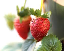 Diy Strawberry Planter by Growing Strawberries Make Your Own Strawberry Planter