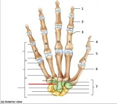 Appendicular Skeleton Worksheet Appendicular Membrane Images Reverse Search