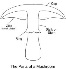 mushrooms parts of a mushroom edible and poisonous mushrooms